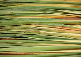 Sukkot - Palm Branch - Lelav